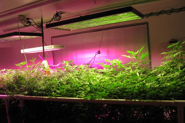 Keeping An Optimal Distance Between Led Grow Lights And